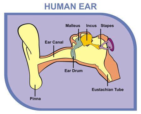 ear wax diagram earaches causes and treatments