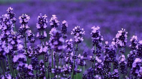 tapete lavendel lavender hd wallpaper high definition high quality
