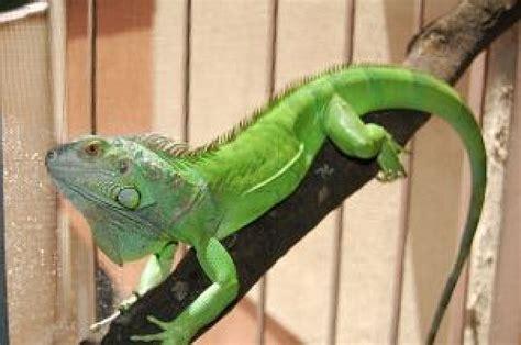 imagenes animadas de iguanas iguana 2 scaricare foto gratis