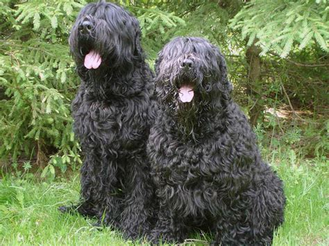 large russian breeds black russian terrier all big breeds