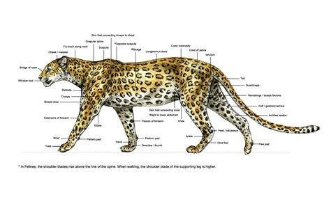 jaguar cycle diagram diagram of a leopard spotted leopard ortho surface