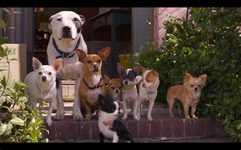 beverly puppies beverly chihuahua 2 puppies www imgkid the image kid has it