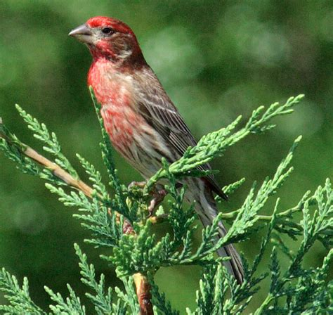 picture of house finch finches
