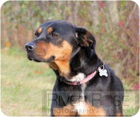 beagle and rottweiler mix roxi in maine adopted kennebunkport me rottweiler beagle mix