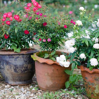 rose bushes   home depot