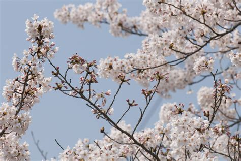 cherry tree branch jeffrey friedl s 187 lots of blossoms but still lots of buds