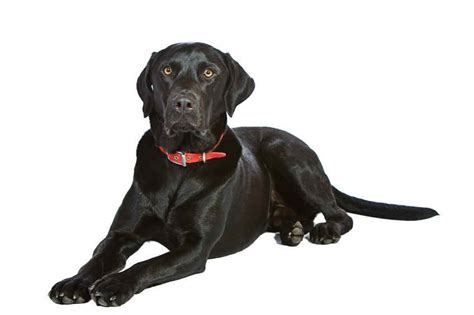 lab puppy names different chocolate lab names black lab names best black lab names by color best