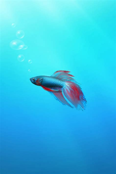 wallpaper for iphone fish betta fish iphone wallpaper hd