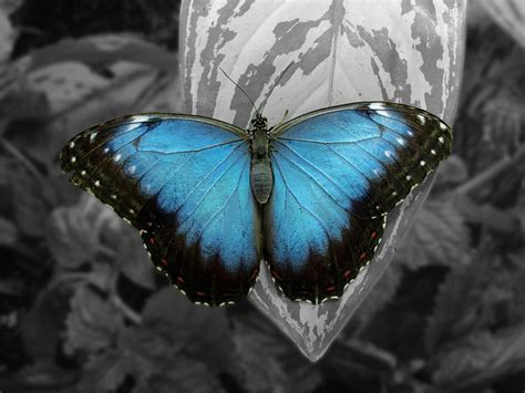 imagenes de mariposas moradas y azules mariposas azules wallpaper www imgkid com the image