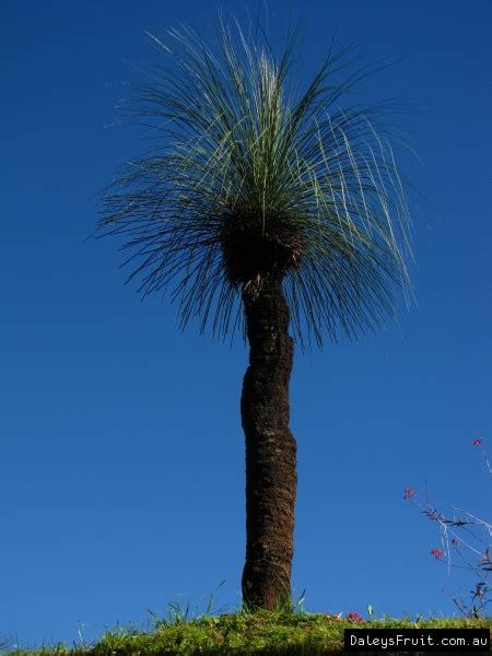 xanthorrhoea glauca grass tree native  australia  sale