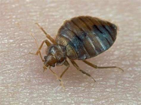 bed bugs nj n j man sets house on fire trying to kill bedbugs ny