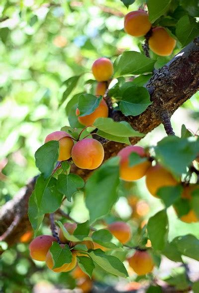 b q fruit trees 240 best images about fruit trees on