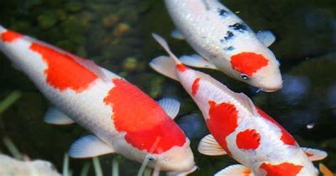 tutorial menggambar ikan koi cara budidaya ikan koi kolam terpal dengan panduan untuk