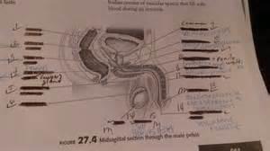 midsagittal section through pelvis flashcards quizlet