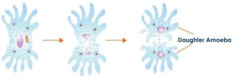 diagram of binary fission in amoeba binary fission of amoeba