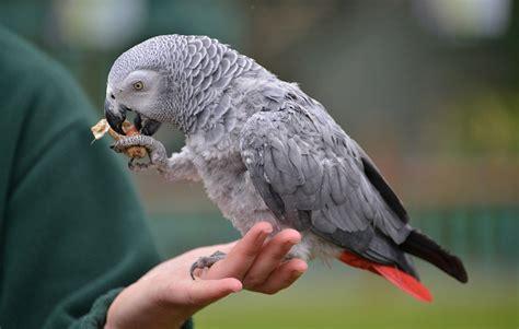 african grey parrot picture weneedfun