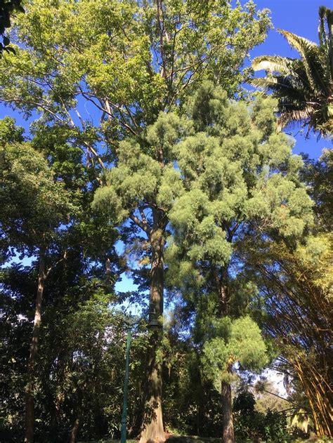 mindanao gum eucalyptus deglupta  outdoor circle