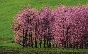 alberi di pesco in fiore alberi di pesco in fiore ca tenente