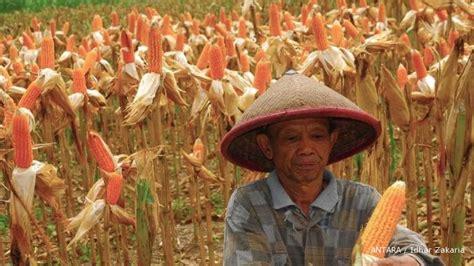 Produksi Jagung Pakan Ternak pabrik pakan ternak kurang jagung