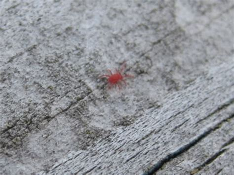 tiny red bugs in bed little red bug what is it