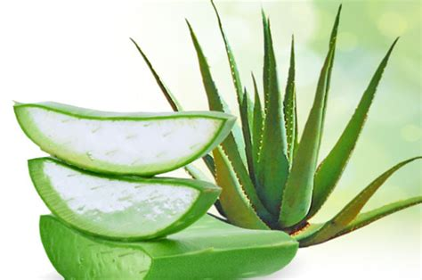 Aloe Vera Plante by Plantes Contre Le Diab 232 Te Du Type 2