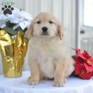 golden retriever tulsa golden retriever puppies for sale greenfield puppies