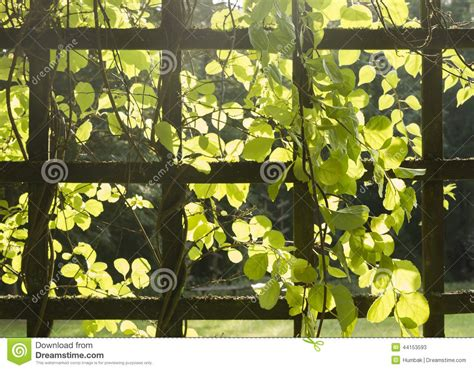frame for climbing plants trellis with plants stock photo image 44153593