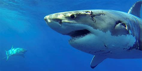 great white shark dive the shark of guadalupe great white shark cage diving
