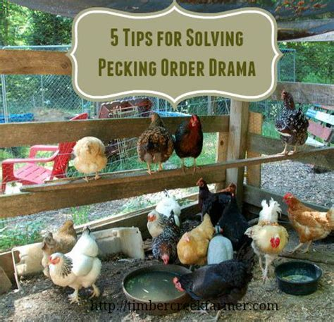 Backyard Chickens Pecking Order Backyard Chickens Egg Pecking 28 Images Photo Gallery