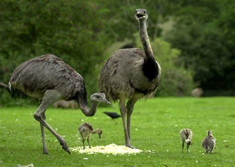 imagenes del animal weta diferencias entre 209 and 250 y avestruz
