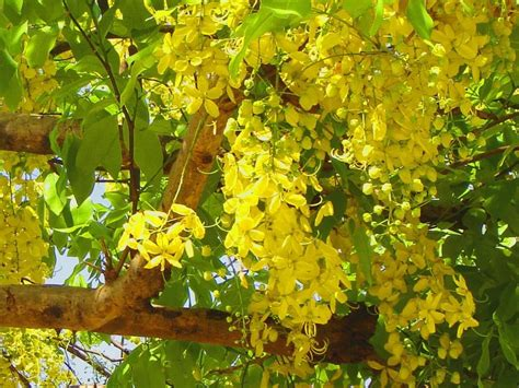 trees planet cassia fistula golden shower tree