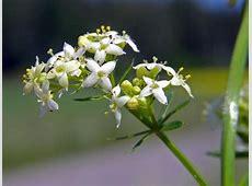 Weißes Wiesenlabkraut, Galium album - Blütenpflanzen ... Finnland