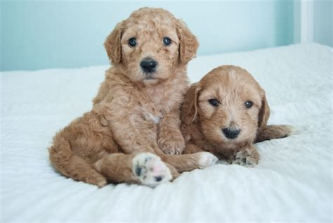 mini goldendoodles raleigh nc best goldendoodles bestgoldendoodles goldendoodle