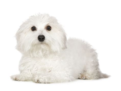 havanese puppies price in bangalore dogs small breeds non shedding puppy