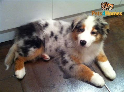 australian shepherd blue merle puppies blue merle aussie puppy hayle cornwall pets4homes
