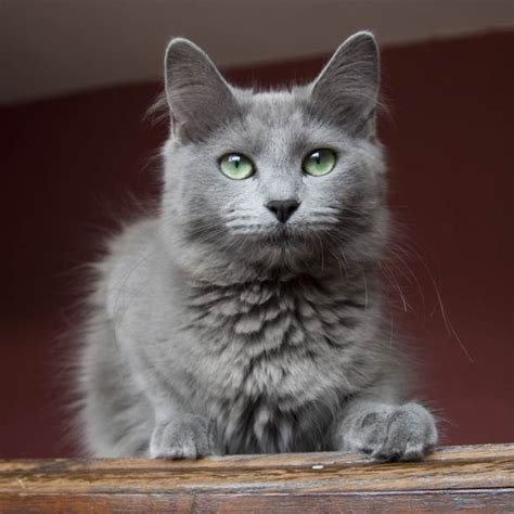 Nebelung ? a cat from fairytales   DinoAnimals.com