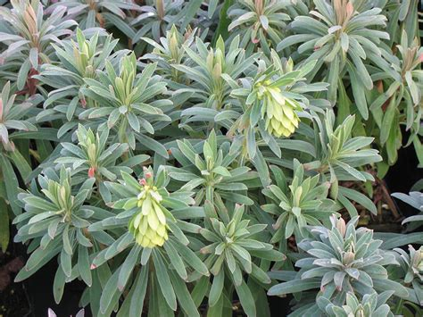 evergreen spurge plants4home