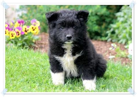 samoyed puppies for sale in michigan les 25 meilleures id 233 es de la cat 233 gorie chiots samoy 232 des 224 vendre sur
