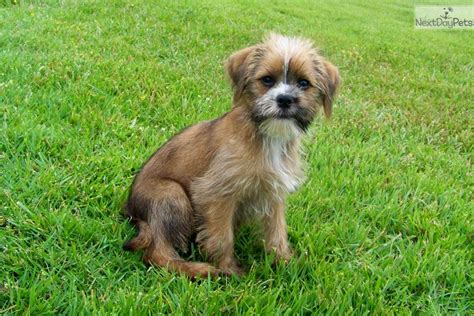 shiffon puppies elliot forever friend shiffon brussels griffon puppy for sale near st