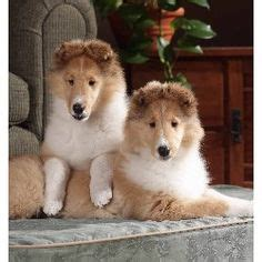 collie puppies for adoption chow puppies for sale on chow chow puppies chow chow and chow chow for sale