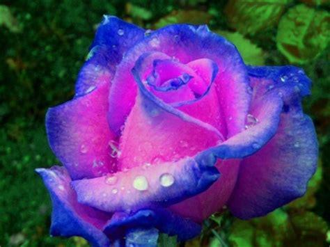 imagenes de rosas maravillosas imagenes de flores maravillosas del mundo para descargar