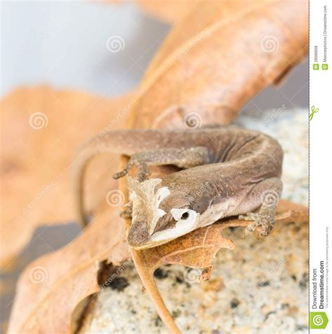 Gecko Skin Shedding by Brown Gecko Shedding Skin Royalty Free Stock Photos