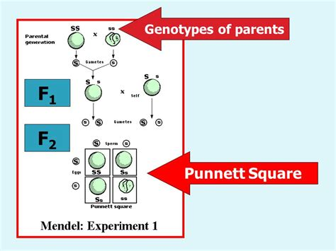 Genetics The study of Heredity Inheritance of traits coded ... F1 Generation Punnett Square