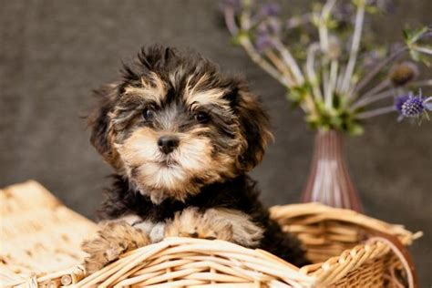 yorkie poo breeders colorado yorkiepoo puppies