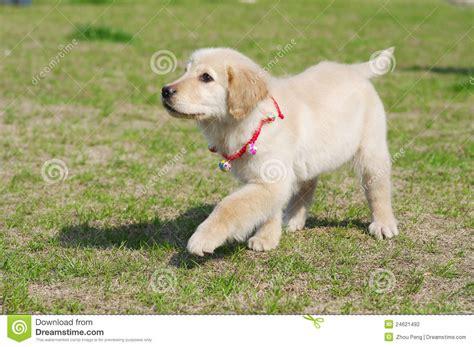 golden retriever walking golden retriever puppy walk stock photography image 24621492