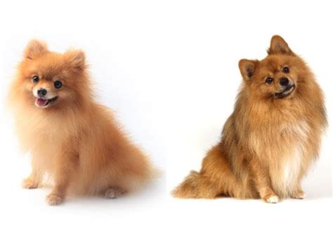 german spitz x pomeranian the world s catalog of ideas