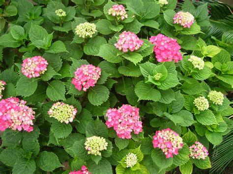 imagenes flores hortensias hortensia