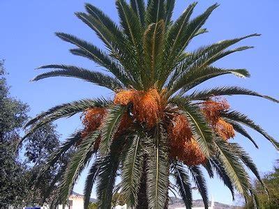 tipi di palma da giardino piante palme palma balconefiorito