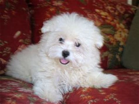 maltipoo puppies for sale in nc middlesex maltipoo puppies