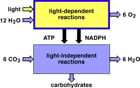 Where Does Light Dependent Reaction Take Place by Energy Acquiring Pathways